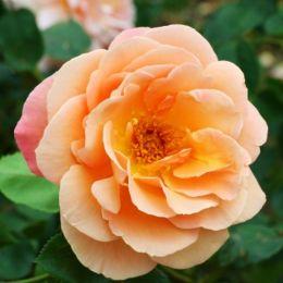 Троянда Schoolgirl фото