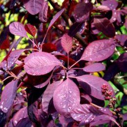 Скумпія Royal Purple фото
