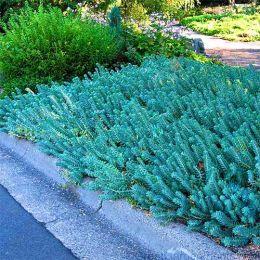 Седум Blue Spruce фото