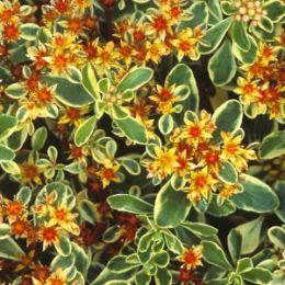 Седум Variegatum фото