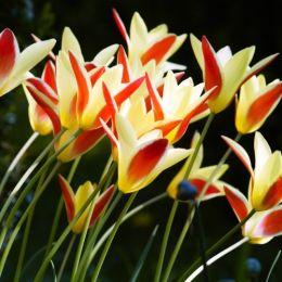 Тюльпан Clusiana Cynthia фото