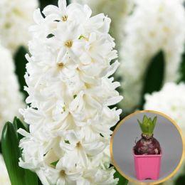 Гіацинт White Pearl (горщик 7 см) фото
