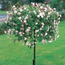 Троянда Félicité-Perpétue Weeping Standard фото