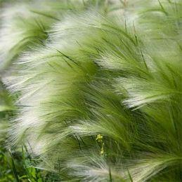 Ковила Ponny Tails фото