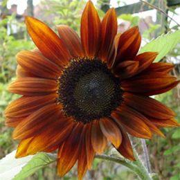 Соняшник Шоколад фото