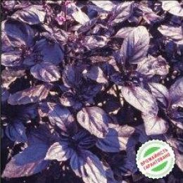 Базилік фіолетовий Темний опал фото