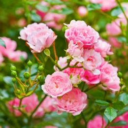 Троянда The Fairy фото