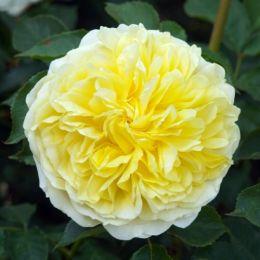 Троянда The Piligrim фото