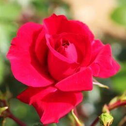 Троянда плетиста The Prince's Trust фото