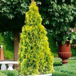 Туя Golden Brabant фото