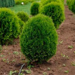 Туя Green Egg фото