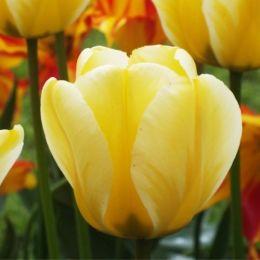 Тюльпан Jaap Groot фото