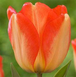 Тюльпан Аmerican Dream фото