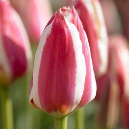 Тюльпан Coors фото