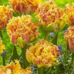 Тюльпан Esprit фото