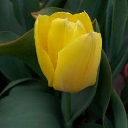 Тюльпан Golden Emperor фото