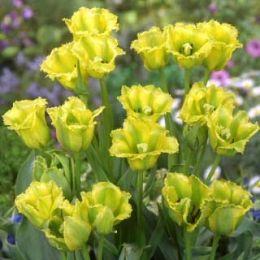 Тюльпан Green Jay фото