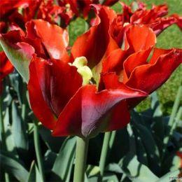 Тюльпан Green Valley фото