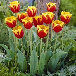 Тюльпан Kees Nelis фото