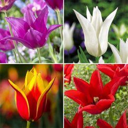 Тюльпани Лілеоподібні Мікс фото