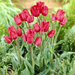 Тюльпан Merry Go Round фото