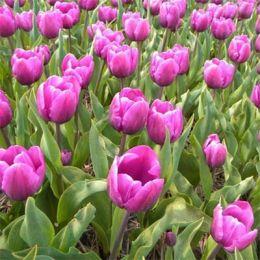 Тюльпан Purple Cloud фото