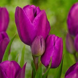 Тюльпан Purple Bouquet 30 шт/уп фото