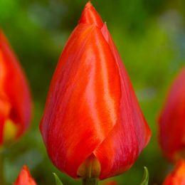Тюльпан Red Paradiso фото