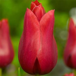 Тюльпан Red Shine фото