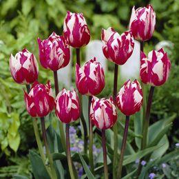 Тюльпан Rems Sensation фото