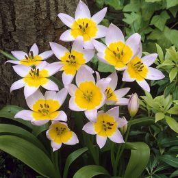 Тюльпан Saxatilis фото