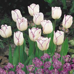 Тюльпан Shirley фото