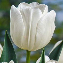 Тюльпан Silver Dollar фото