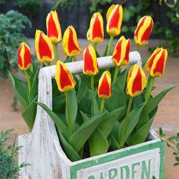Тюльпан Stresa фото