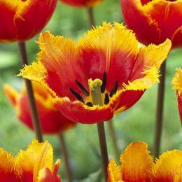 Тюльпан Tiano 30 шт/уп фото