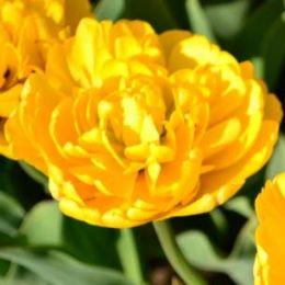 Тюльпан Yellow Pomponnet 50 фото