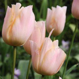 Тюльпан Apricot Beauty 30 шт/уп фото