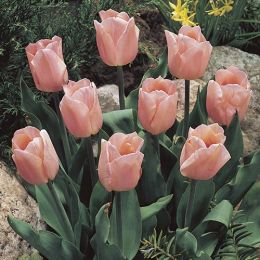 Тюльпан Apricot Beauty фото