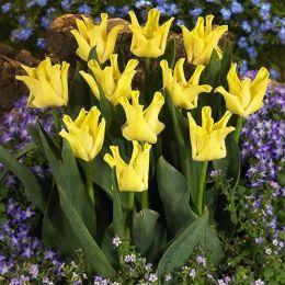 Тюльпан Yellow Crown фото