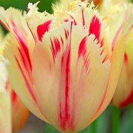 Тюльпан Carroussel фото