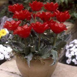 Тюльпан Double Red Riding Hood 50 фото