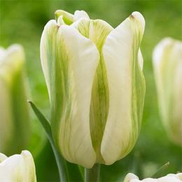 Тюльпан Green Spirit фото