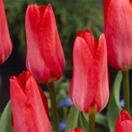 Тюльпан Rose Emperor фото