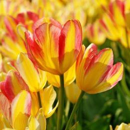 Тюльпан Antoinette 30 шт/уп фото