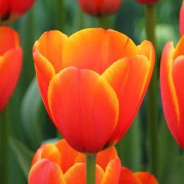 Тюльпан World's Favourite фото
