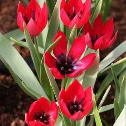 Тюльпан Kurdica 30 шт фото