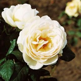 Троянда плетиста Uetersener Klosterrose фото