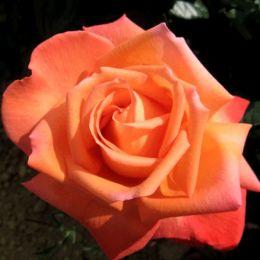 Троянда Vedette фото