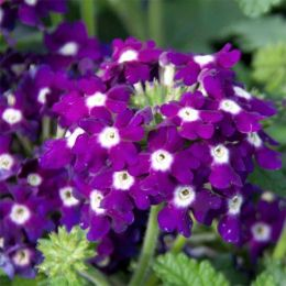 Вербена Lascar Compact Dark Violet фото