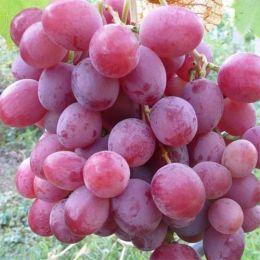 Виноград Анюта фото